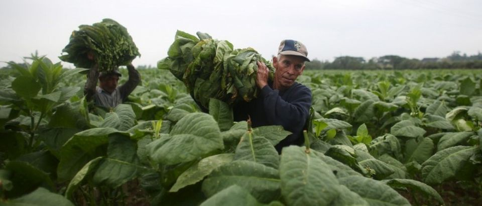 Farmers Andre Alvares, 60, (R), and Javier Sancho, 47, load a cart with fresh tobacco leaves to be taken to a curing barn at a tobacco farm in Cuba's western province of Pinar del Rio January 26, 2016. (REUTERS/Alexandre Meneghini)