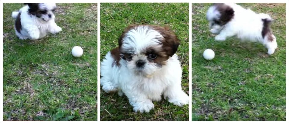 Shih Tzu Puppy LOSES ITS MIND Over Appearance Of Mystery Object (Golf Ball) (YouTube)