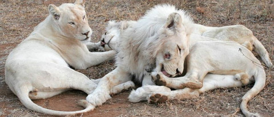 Pride Of White Lions