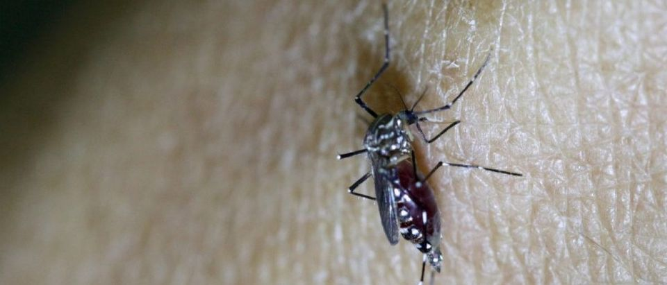 Female Aedes aegypti mosquito is seen on a health technician in Guatemala City