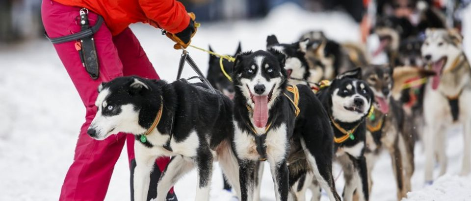 Lars Monsen of Norway awaits an untangle of his team after the ceremonial start of the Iditarod in downtown Anchorage