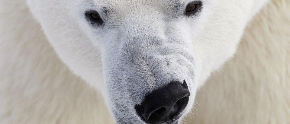 A polar bear growls at the St. Felicien Wildlife Zoo in St. Felicien