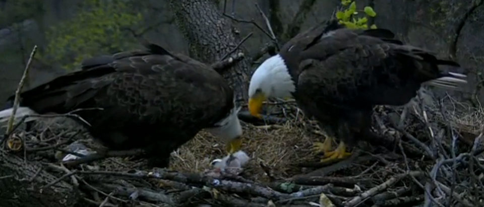 Baby Bald Eagle Hatches - Screenshot/Reuters