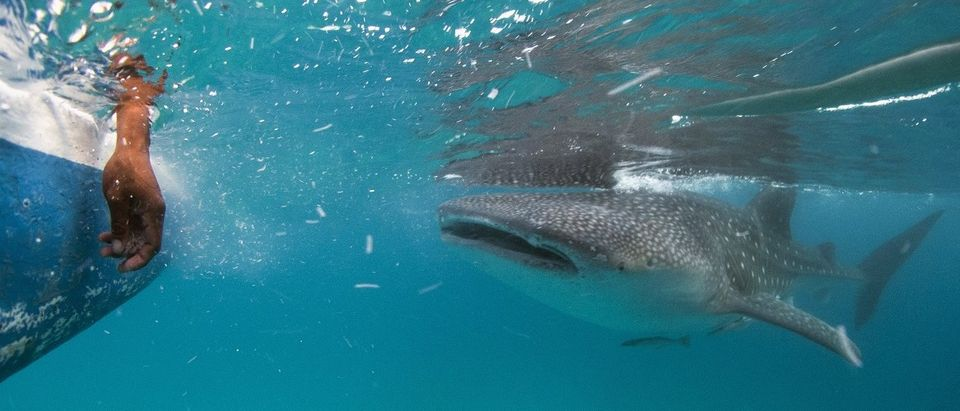 A whale shark approaches a feeder boat off the beach of Tan-awan
