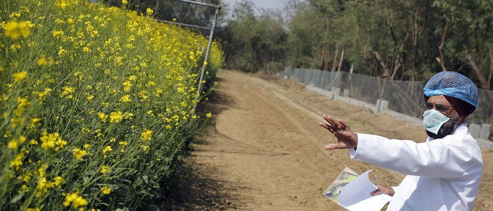 An Indian scientist points to a patch of GM rapeseed crop under trial in New Delhi