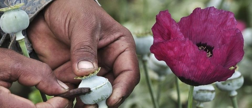 Man lances a poppy bulb to extract the sap, which will be used to make opium, at a field in the municipality of Heliodoro Castillo, in the mountain region of the state of Guerrero