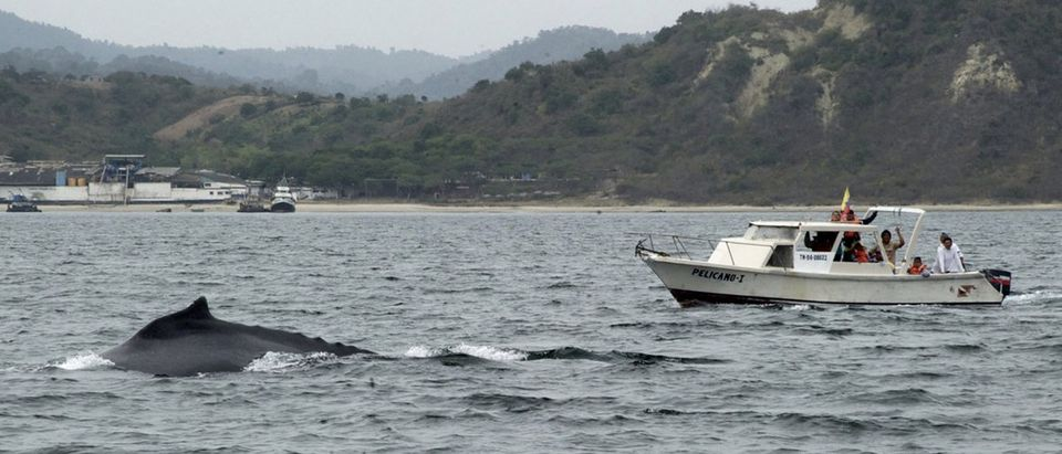 A humpback whale appears near the water surface in Puerto Lopez