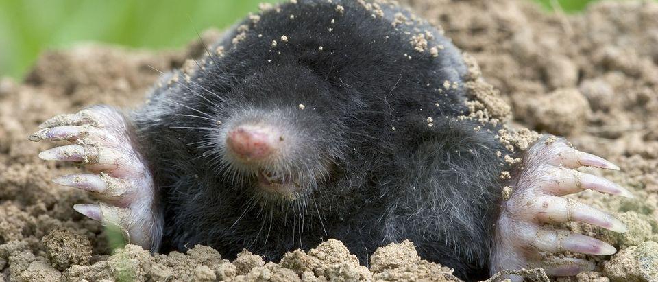 A mole burrowing