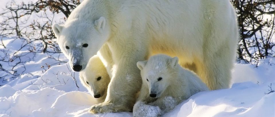 Polar bear with her twin cubs of the year. Canadian Arctic (outdoorsman/Shuttershock)