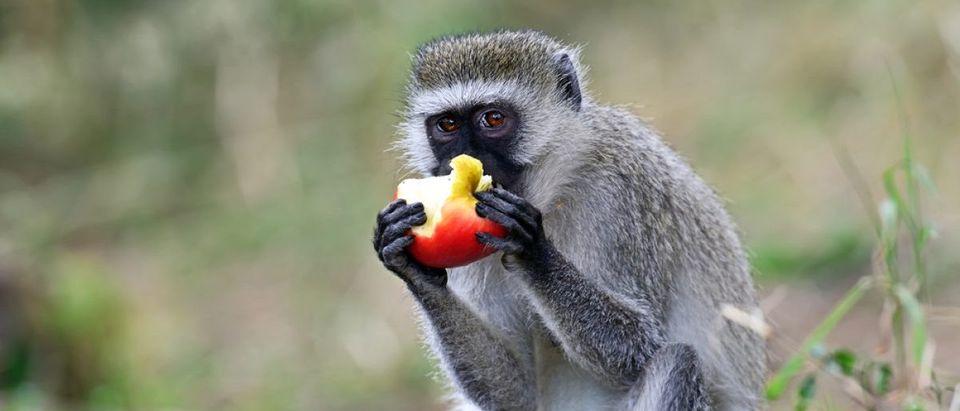 Black face monkey (vervet monkey) in Kenya. Credit: Eduard Kyslynskyy/Shuttershock