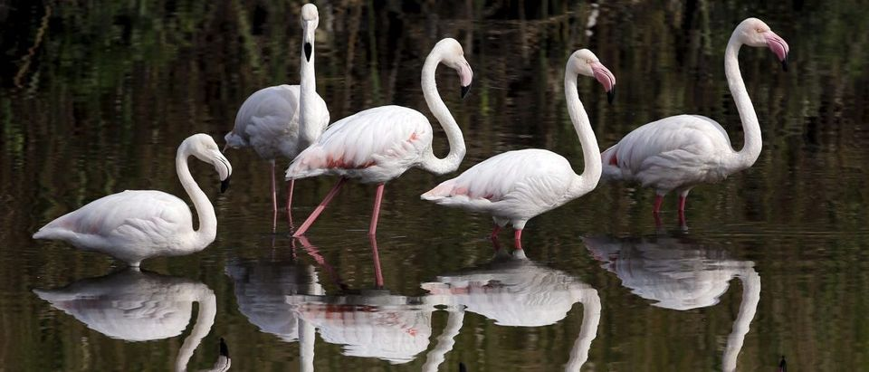 Flamingos wade in Cape Town's Black River