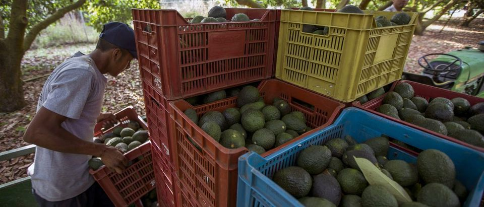 US Avocado Consumption Leads To Deforestation Of Mexico
