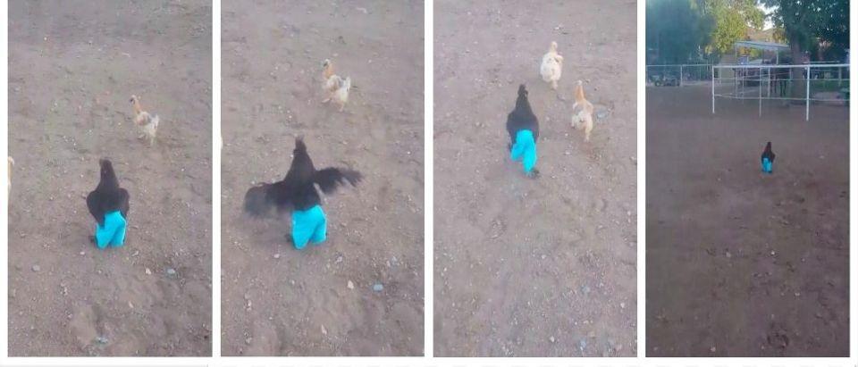 Chicken jogging in blue pants (screenshots: Imgur via Reddit)