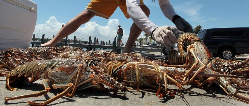 Man Chases Lobsters In Florida