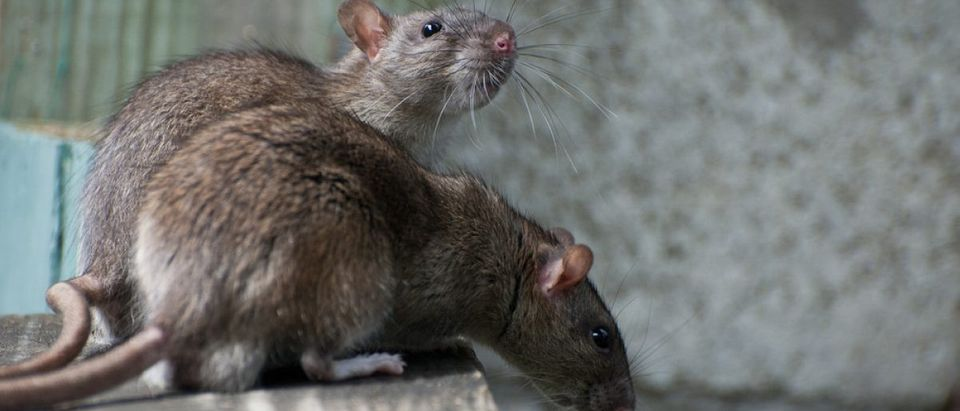 Keep the rats out (Photo via Shutterstock)