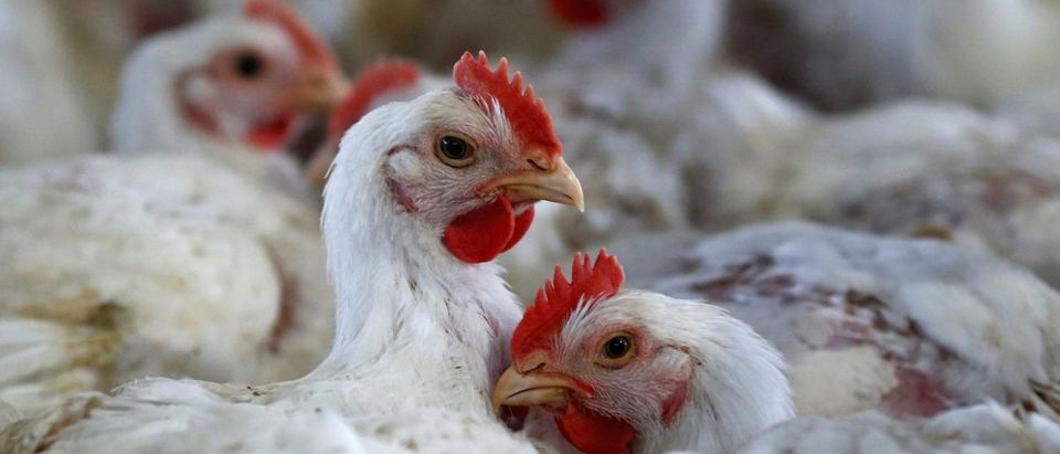 Chicken are pictured at a poultry factory in Lapa city