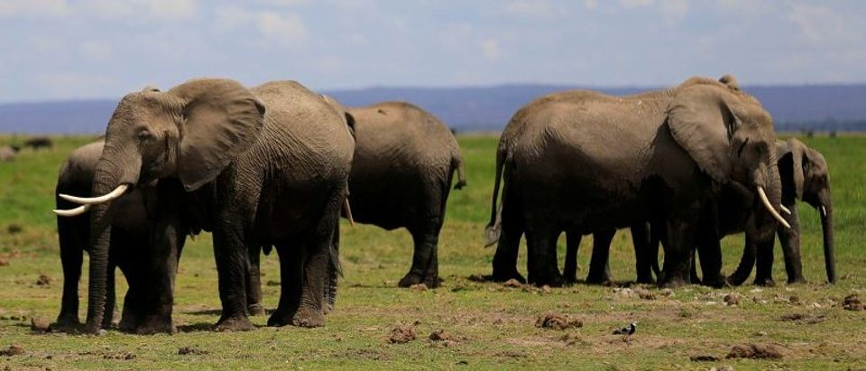 Elephants graze during an exercise to fit them with advanced satellite radio tracking collar to monitor their movement at the Amboseli National Park in Kenya