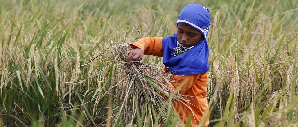 A boy harvests rice in Babelan village in the Bekasi district of Indonesia's West Java province