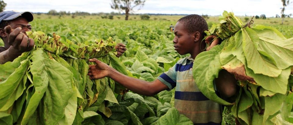 Farm workers harvest tobacco leaves at a farm ahead of the tobacco selling season in Harare