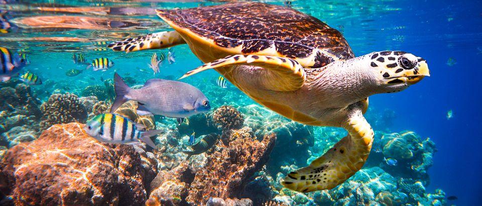 Hawkbill Turtle in coral reef (Credit: Andrey Armyagov/Shutterstock)