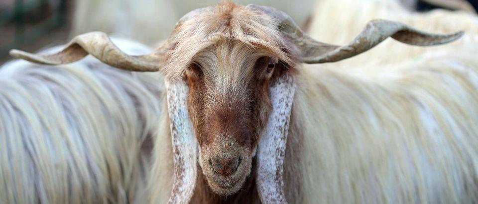 goat Getty Images/YASSER AL-ZAYYAT