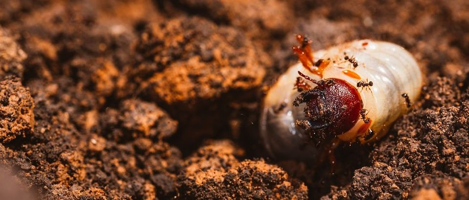 May beetle larvae on the ground swarmed by ants. Emotions studio/Shutterstock.