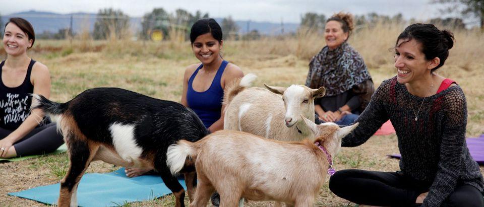 1480709256-goat-yoga