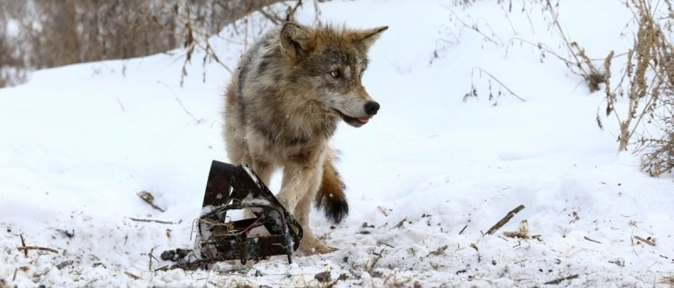The Wider Image: Wolf-hunting near the Chernobyl zone