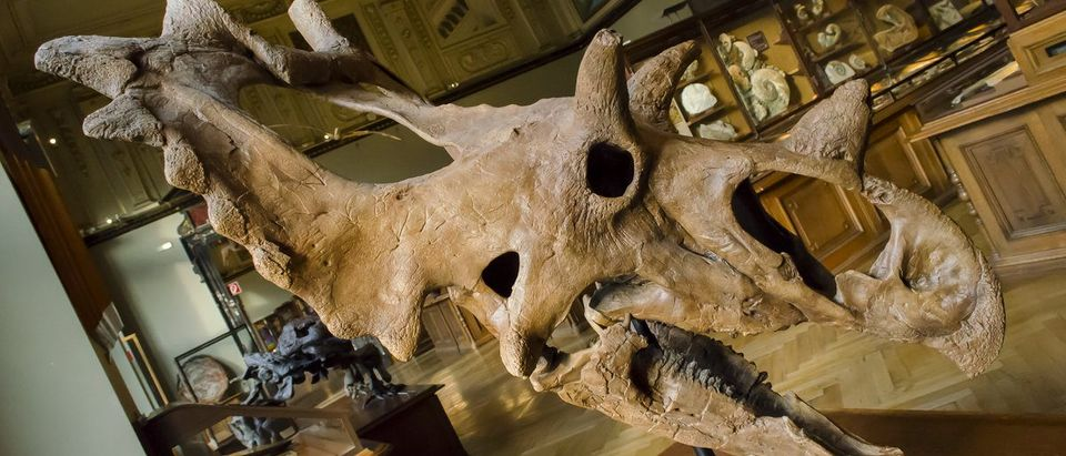 Faviel_Raven July 13, 2016: Spiclypeus skull in the Natural History Museum of Vienna, Austria (Shutterstock/Naturhistorisches Museum Wien)