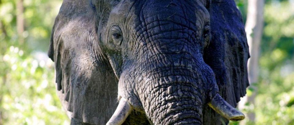 FILE PHOTO - African elephant mock-charges in Okavango Botswana