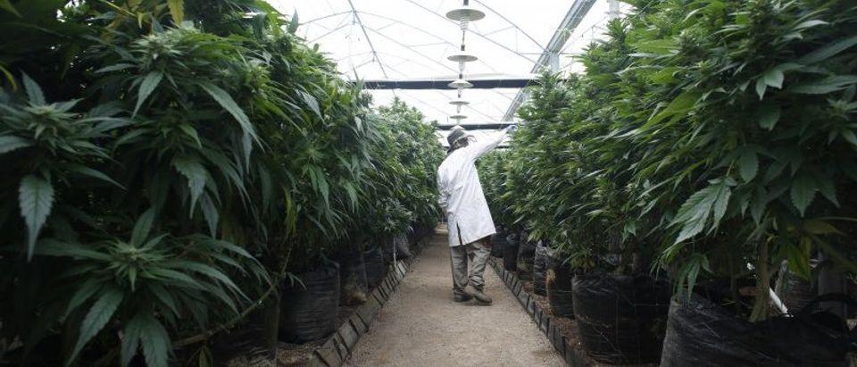 An employee checks cannabis plants at a medical marijuana plantation in northern Israel