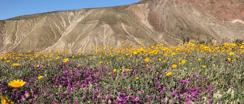 A massive spring wildflower bloom caused by a wet winter is seen in Anza-Borrego Desert State Park
