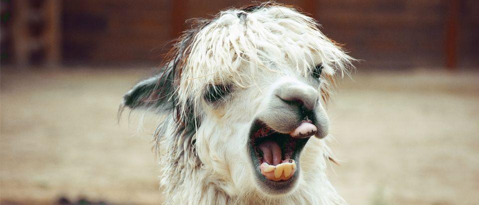 Alpaca (Shutterstock.com)