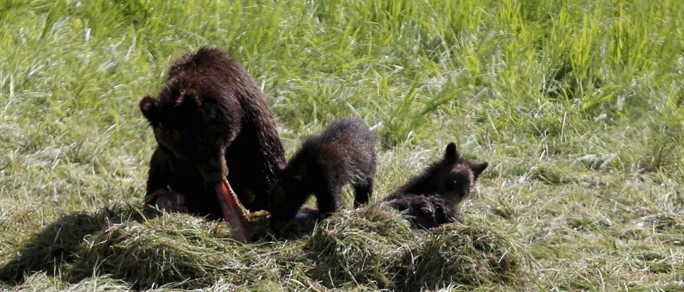A grizzly bear and her two cubs feed on the carcass of a bison in Yellowstone National Park in Wyoming