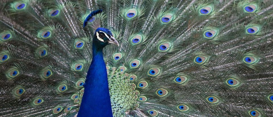 A peacock opens its tail feathers at a park in Madrid