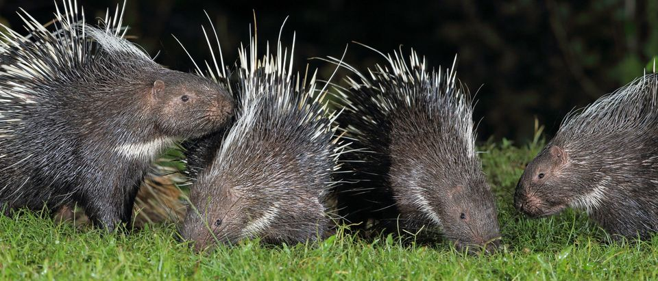 A group of porcupines carefully checking each other out (Photo: Shutterstock/ teekayu)