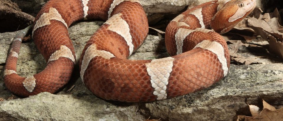 Shutterstock/ Trans-Pecos Copperhead copperheadsnakesouthernvenomouscolored bandsreptilevenomwildlife