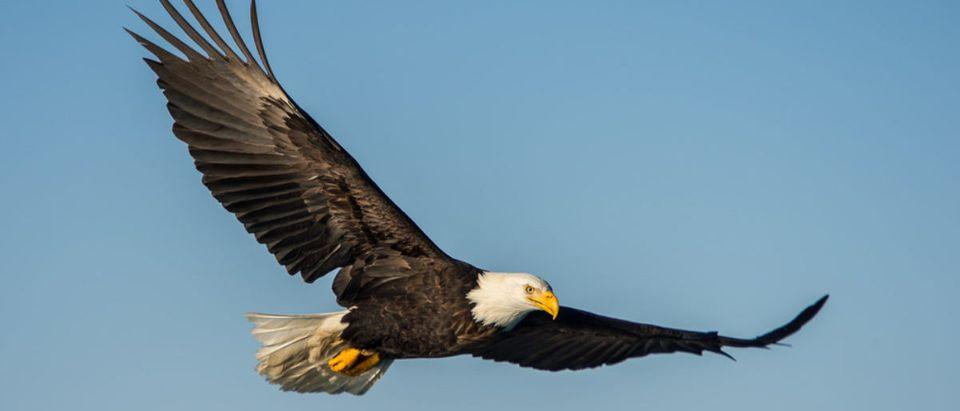 An American bald eagle soaring against clear blue alaskan sky. [Shutterstock -