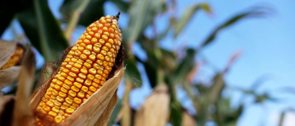 FILE PHOTO: Corn is seen in a field in Indiana, U.S. September 6, 2016. To match USA-BIOFUELS/VALERO REUTERS/Jim Young/File Photo | GOP Warns Pruitt To Stomp Out The Leaks