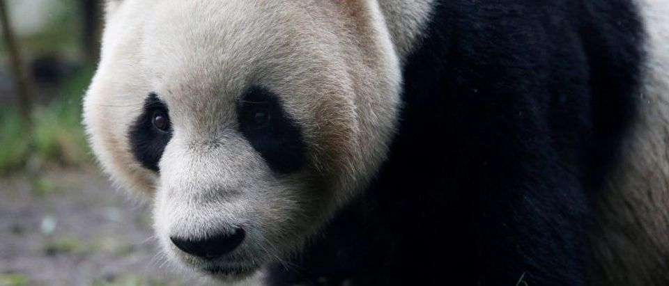 FILE PHOTO: Tian Tian, a giant panda walks in the outdoor enclosure at Edinburgh Zoo, Scotland