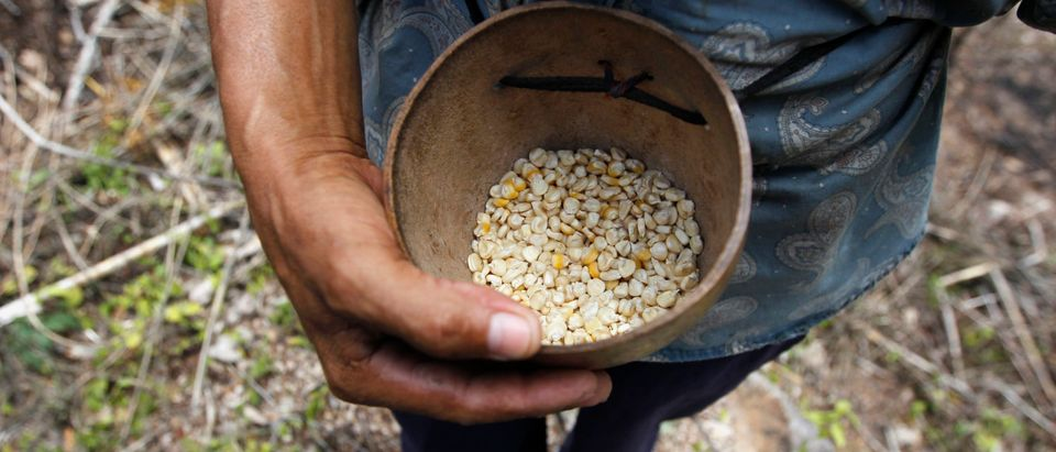 A farmer holds up dried corn kernels, donated by the United Nations WFP food reserves, during a distribution of food aid to families affected by the drought in Orocuina
