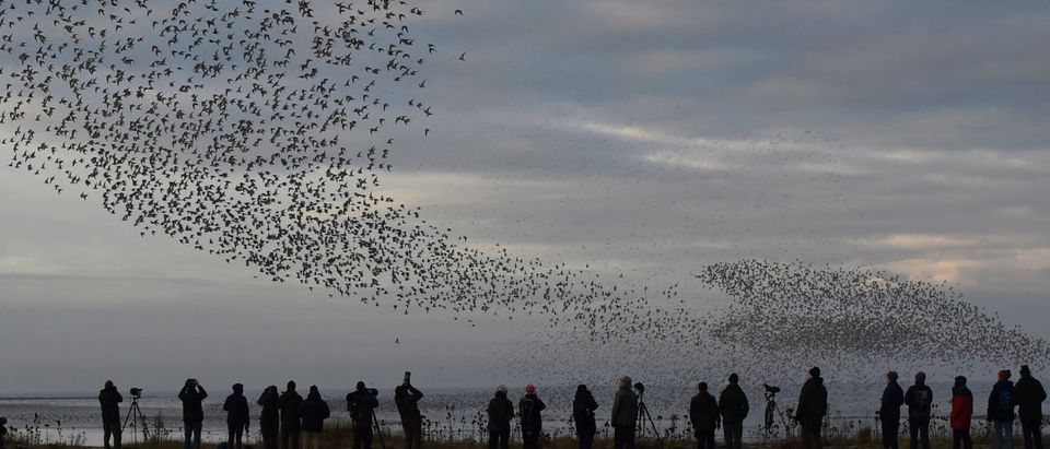 Birdwatchers observe as murmurations of wading birds fly along the coastline of The Wash near Snettisham in east Britain