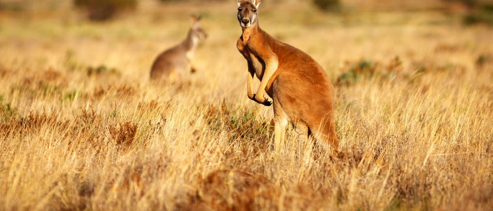 Shutterstock/ Red Kangaroo standing up in grasslands in the Australian Outback