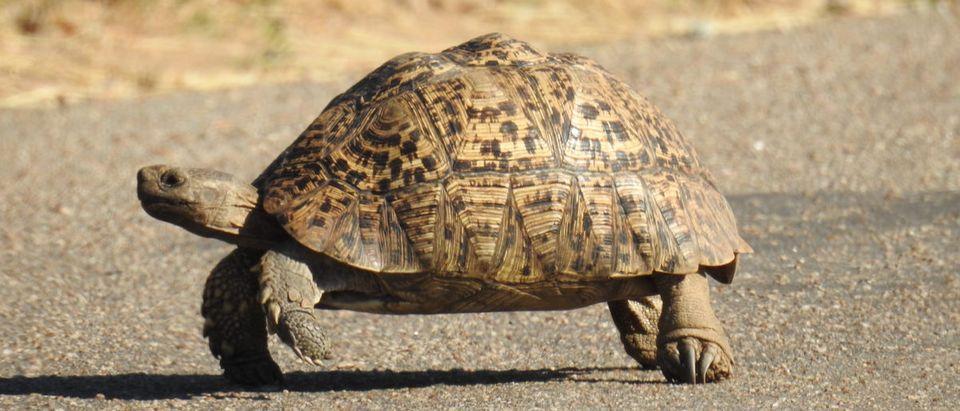 Shutterstock/ Tortoise.
