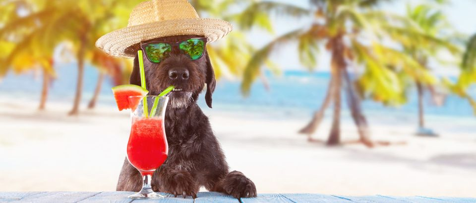 Shutterstock/ Black mutt dog posing on the beach with colorful cocktail.