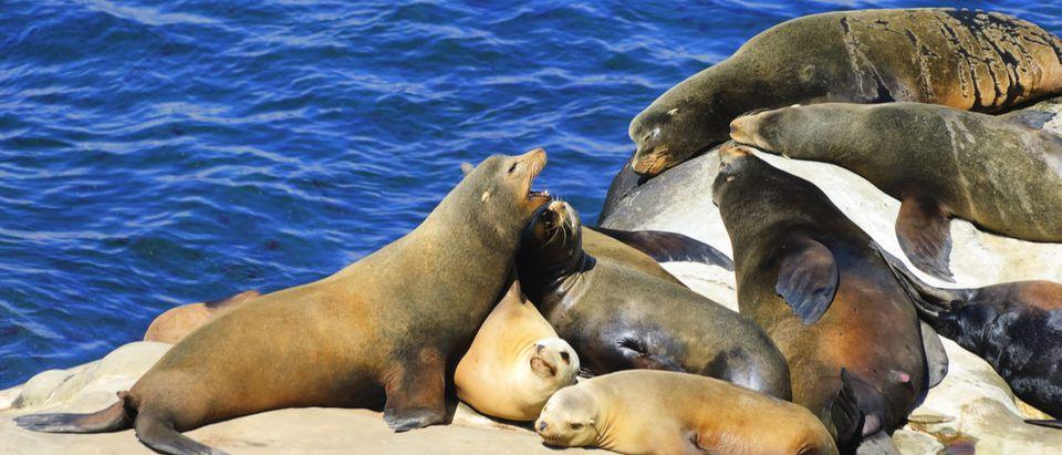 California Sea Lions Lie on the Pacific Ocean Coast - La Jolla, San Diego, California (Marina Ivanova/Shutterstock)