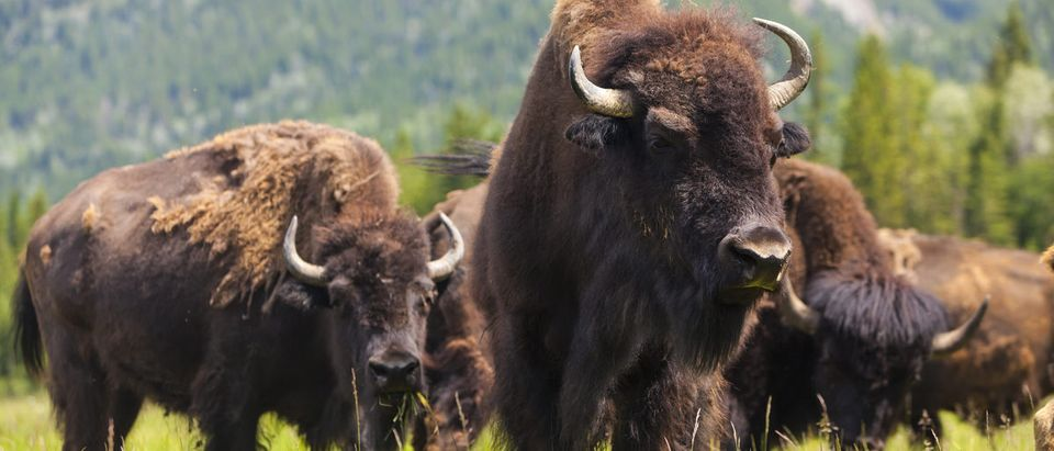 A herd of American bison.