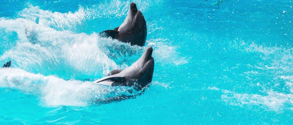 Shutterstock/ two dolphins frolic in the blue clear water, selective focus dolphinswimanimalaquariumaquaticatlanticbeautybluecomradescreaturecubedeardeepdivingdropseyesfinfishfunfunnyhappyheadheatherholidayjawjoyjumplifelittlelovemammalsmarinemothernatureoceanpairperformplasticplayplayfulpoolreflectionsmallsmilesummertwounderwaterwildlifeShow more