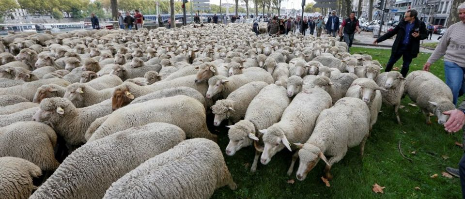 "French farmers walk with hundreds of sheep during a protest against the government's ""Plan loup"" (wolf project) which protects wolves which the farmers blame for livestock deaths and financial losses, in Lyon"