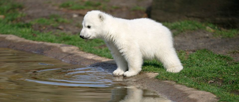 Polar bear cub Knut is reflected in the water during the bear's first presentation in Berlin zoo, March 23, 2007. Knut, born on December 5, 2006, had to be hand fed every four hours by Berlin zoo employee Thomas Doerflein after its mother Tosca refused the baby. REUTERS/Tobias Schwarz
